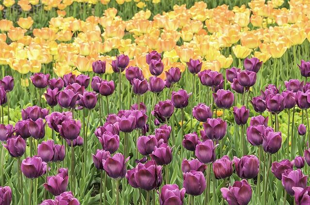 Spring at a glance Arrays of pink and yellow tulips in garden (foreground focus).jpeg