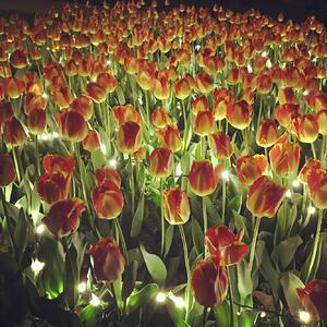 Tulips at Twilight in Topeka